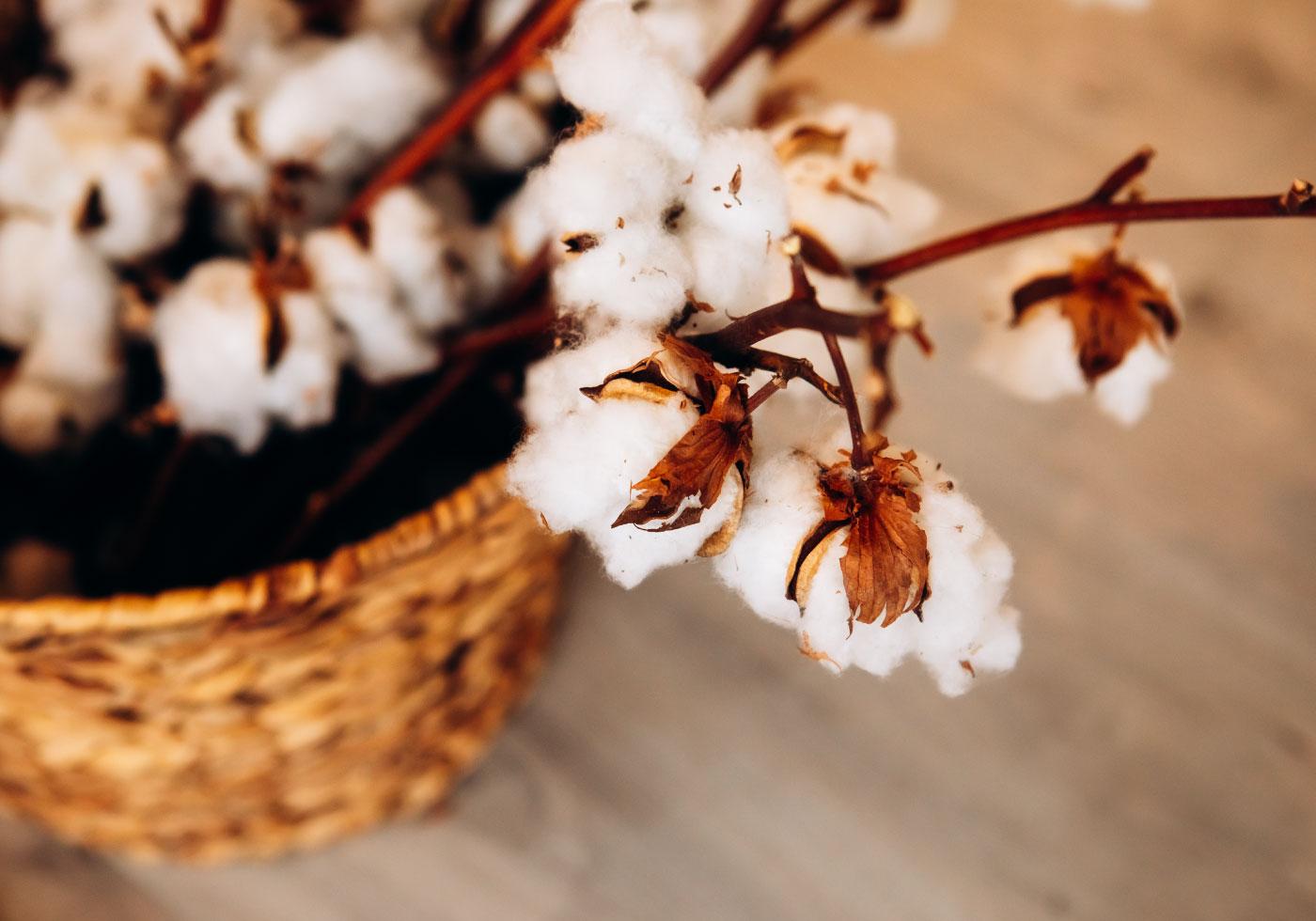 Baumwollpflanze in geflochtenem Korb