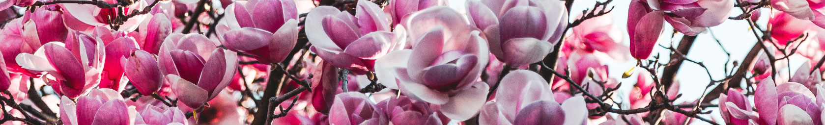 Rosa blühender Baum